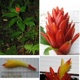 Costus 'Pocosol' cultivar registry photo - Click to see full sized image