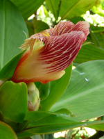 Costus laevis from Shiroles, Costa Rica, photo John Mood garden - Click to see full sized image