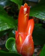Costus pulverulentus - Ecuador, Rio Palenque - Click to see full sized image
