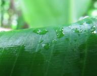Costus pulverulentus - Ecuador, Buenaventura - Click to see full sized image