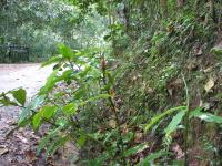 Costus scaber near PN Podocarpus, Ecuador - Click to see full sized image