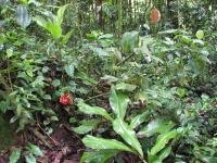 Costus amazonicus subsp. amazonicus from Guayzimi, Ecuador in habitat - Click to see full sized image
