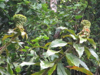 Costus aff. asplundii, Nangaritza Form, from near Guayzimi - Click to see full sized image