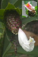 Costus 'El Gato' - plant found in 2007 near Gualaquiza, Ecuador - Click to see full sized image