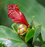 Costus laevis at Reserva Durika, Costa Rica - Click to see full sized image