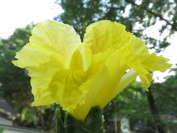 Costus 'Mellow Yellow' - Click to see full sized image