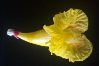 Costus 'Mellow Yellow' - photos by John Mood - Click to see full sized image