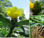 Costus 'Mellow Yellow' - cultivar registry photo at www.heliconia.org - Click to see full sized image