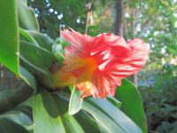 Costus guanaiensis 'Emerald Crinkles' from Rio Mazon, Peru - Click to see full sized image