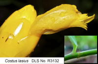 Costus lasius glabrous form from El Valle, Panama - Click to see full sized image