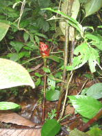 Costus allenii from El Cope, Panama in habitat - Click to see full sized image