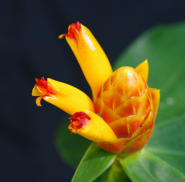 Costus wilsonii from Volcan, Panama - Click to see full sized image