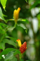Costus wilsonii from Volcan, Panama, note variation in bract color from the same plant - Click to see full sized image
