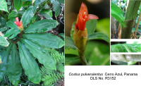 Costus pulverulentus from Cerro Azul, Panama - Click to see full sized image