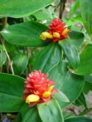 Costus 'Phoenix' - Click to see full sized image