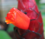 Costus 'Mongrel' - Click to see full sized image