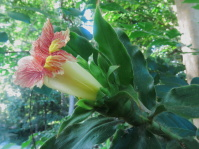 Costus  'Longhair' from Rio Teribe, Panama - Click to see full sized image