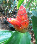 Costus 'Mongrel',  plant collected in the hills above Rio Bonyic, Bocas del Toro, Panama.  Bracts have fibrous margins. - Click to see full sized image