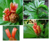 Costus 'Moonluster' - cultivar registry photo at www.heliconia.org - Click to see full sized image