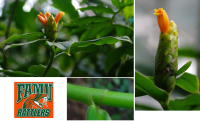 Costus 'Rattler'  - cultivar registry photo at www.heliconia.org - Click to see full sized image