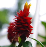 Costus ricus from Cerro Nara, Costa Rica - Click to see full sized image