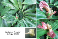 Costus sp. from SigSig Road, near Gualaquiza, Ecuador - Click to see full sized image