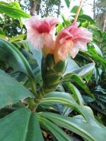 Costus amazonicus subsp. amazonicus from Rio Pastaza, Ecuador - Click to see full sized image