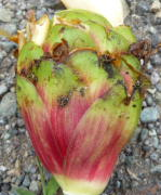 Costus aff. laevis from Tulipe, Ecuador - Click to see full sized image