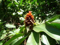 Costus natural hybrd - leucanthus X lima - Lita, Ecuador - Click to see full sized image