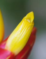 Costus plicatus at Tropenstation La Gamba, Costa Rica - Click to see full sized image