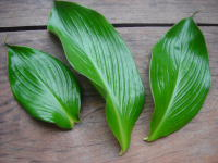 Costus plicatus at Tropenstation La Gamba, Costa Rica, sharply plicate leaves - Click to see full sized image