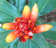 Costus barbatus  from Rancho Redondo, in cultivation - Click to see full sized image