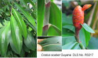 Costus scaber Iwokrama from boulder - Click to see full sized image