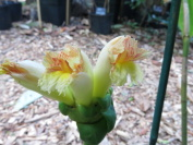 Costus claviger - from Iwokrama Mountains in Guyana - Click to see full sized image