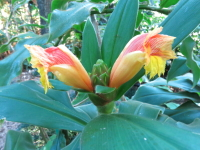 Costus aff. allenii from Anchicaya, El Valle, Colombia. - Click to see full sized image