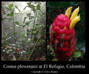 Costus plowmanii at El Refugio, Colombia - Click to see full sized image