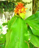 Costus comosus from Cisneros, Antioquia, Colombia.  Photo by Bruce Dunstan - Click to see full sized image