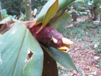 Costus sp. from Choco, Colombia - Click to see full sized image