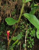 Costus plowmanii near San Jose del Palmar, Choco, Colombia - Click to see full sized image