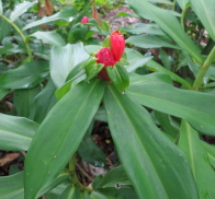 Costus spiralis in rocky area at Cristalilno, Mato Grosso, Brazil known as the