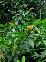 Costus guanaiensis from near Atalaya, Manu area, Peru - Click to see full sized image