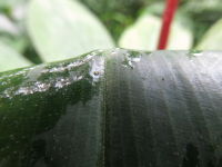 Costus aff. 'El Whiskey' from Panticolla, Madre de Dios, Peru.  Leaf upper side glabrous. - Click to see full sized image