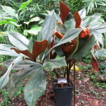 Costus aff. 'El Whiskey' - Pantiacolla from rhizome - Click to see full sized image