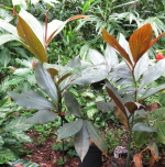 Costus aff. 'El Whiskey' - Pantiacolla from seeds - Click to see full sized image
