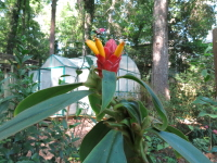 Costus 'Alans Red' - Click to see full sized image
