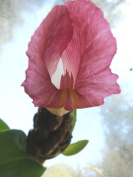 Costus 'Pink Panther' (sport of 'El Gato') - Click to see full sized image