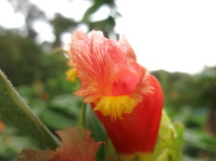 Costus 'Red Baron' - at UGA garden, San Luis, Costa Rica - Click to see full sized image