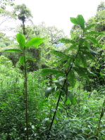 Costus 'Red Baron' - in habitat, Rio Penas Blancas, Costa Rica - Click to see full sized image