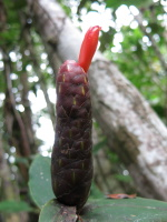 Costus aff. scaber - Los Mogos, Arboretum and Reserva Forestal Golfo Dulce - Click to see full sized image