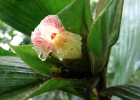 Costus allenii at Jardin Botanico del Pacifico, Bahia Solano, Colombia - Click to see full sized image